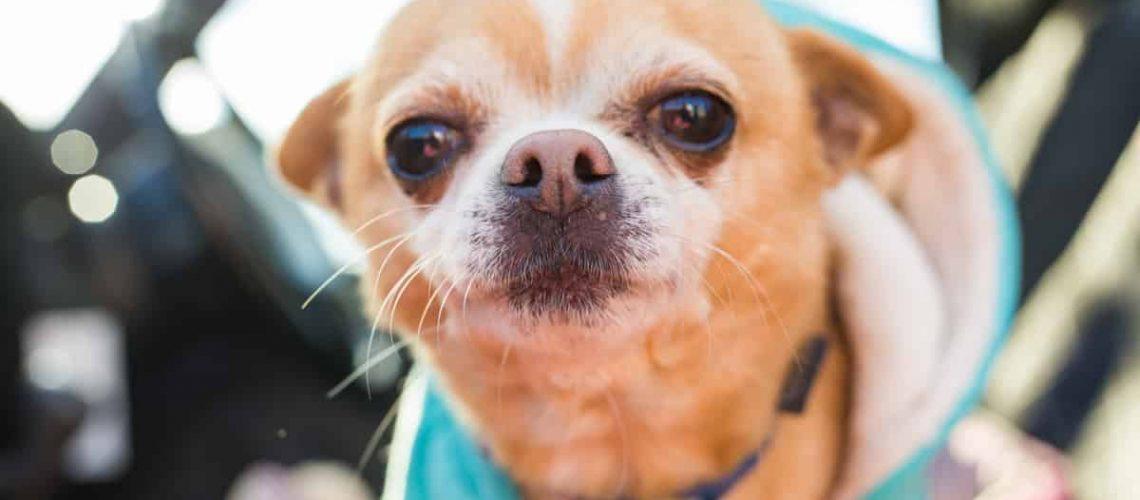 chihuahua_dog_pet_co_G8aEk